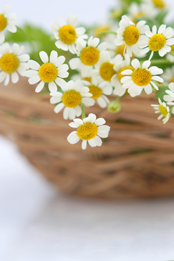 feverfew_power2